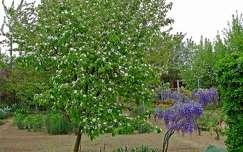 tavasz akácvirág virágzó fa kertek és parkok