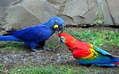 valentin mad�r papag�j