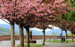magyarország budapest virágzó fa tavasz
