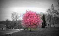 cseresznyefa virág