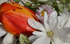 tavaszi vir�g tulip�n v�zcsepp