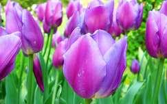 tulip�n, vir�g