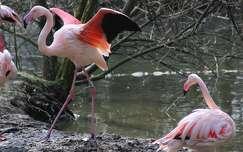 flamingó vizimadár