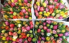 Hollandia, Amszterdam, �sz� vir�gpiac, tulip�ncsokrok 2016. �prilis