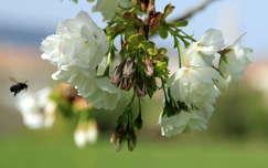 rovar virágzó fa méh
