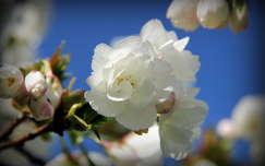 gyümölcsfavirág virágzó fa