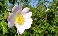 Csipkerózsa virága, tavasz, magyarország