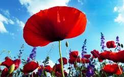 tavaszi virág tavasz vadvirág pipacs szarkaláb