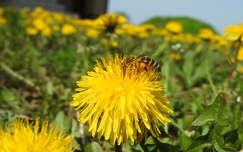pitypang rovar vadvirág méh