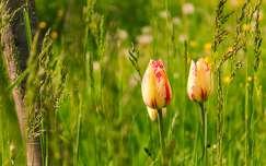 tavasz tavaszi virág tulipán