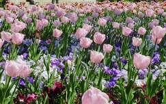 tulip�nos