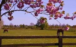 virágzó fa írország tavasz lovak kerítés