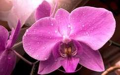 tr�pusi vir�g orchidea v�zcsepp