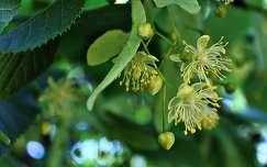 Hársfa virág