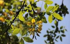 akácvirág virágzó fa