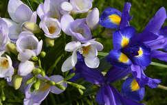 tavaszi virág írisz frézia