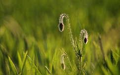 tavasz fény bimbó vadvirág pipacs