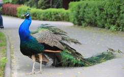 madár páva