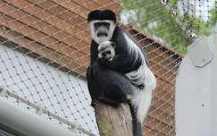 állatkölyök majom