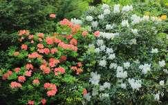 tavaszi vir�g rododendron