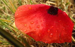 vízcsepp vadvirág pipacs