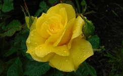 sárga rózsa eső esőcsepp