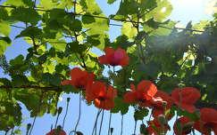 pipacsok a szőlőben