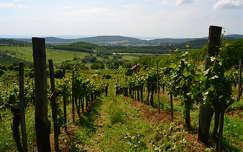 Mindszentkállai szőlő