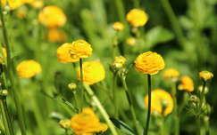 nyári virág boglárka