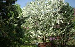 virágzó fa kertek és parkok