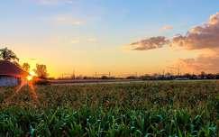 fény kukoricaföld