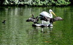 kormorán pelikán vizimadár