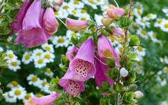 gyűszűvirág nyári virág