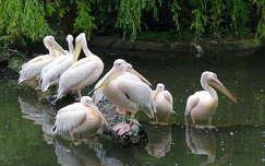 vizimadár pelikán tükröződés
