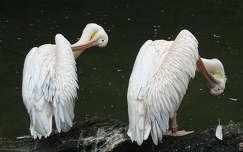 vizimadár pelikán