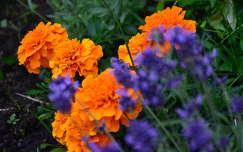 bársonyvirág nyári virág