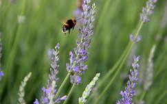 nyári virág levendula vadvirág rovar dongó