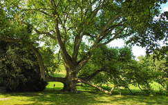 Füzérradványi kastély parkja, 150 éves platánfa