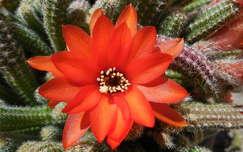 kaktuszvirág kaktusz