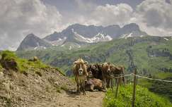 alpok szarvasmarha nyár háziállat hegy