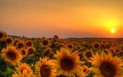 Napraforgók naplementében, Dávod, Magyarország