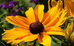kúpvirág nyári virág