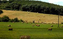 mező nyár gabonaföld
