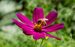 rovar pillangóvirág nyári virág méh