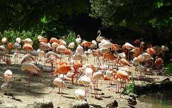 vizimadár flamingó