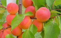 barack gyümölcs nyár
