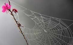 pókháló vadvirág