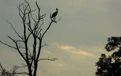 vizimadár gólya madár