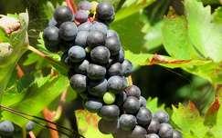 ősz szőlő gyümölcs