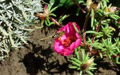 rovar kukacvirág méh